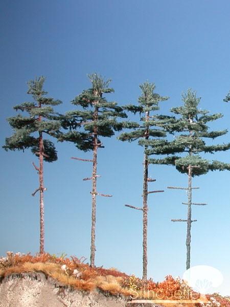 Innenwald-Tanne Größe: 2 Sommer 4 Stück