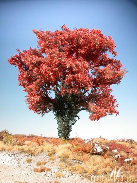 Ahorn (rot) mit Efeu bewachsen Größe: 2 Spätherbst 1 Stück