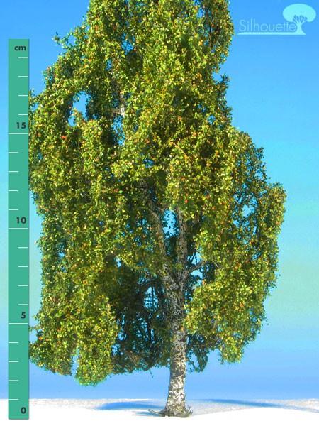 Hängebirke/ Weeping birch Frühherbst Größe: 3