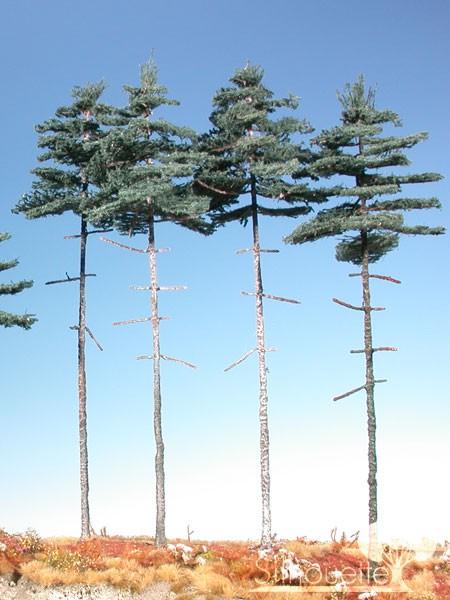 Innenwald-Tanne Größe: 3 Sommer 4 Stück
