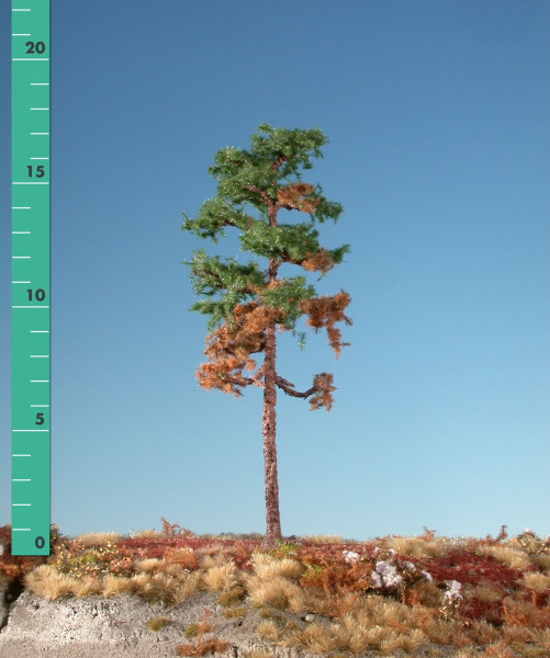 Waldkiefer/ Forest Pine Sommer Größe: 3