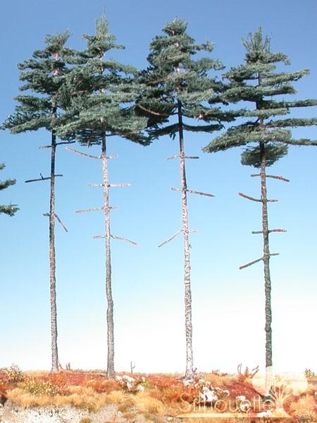 Innenwald-Fichte Größe: 3 Sommer 4 Stück