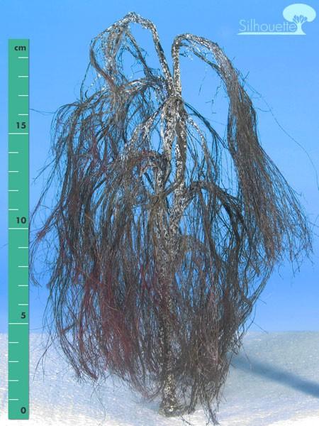 Hängebirke/ Weeping birch Kahl Größe: 3