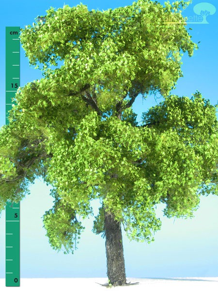 Ahorn/ Maple Frühling Größe: 3