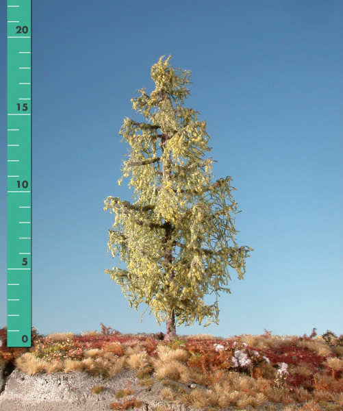Lärche/ Larch Frühherbst Größe: 12-16cm