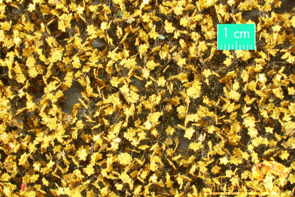 Ahornlaub (gelb) Größe: ca. 27x16,5 cm Spätherbst 1 : 87 Stück